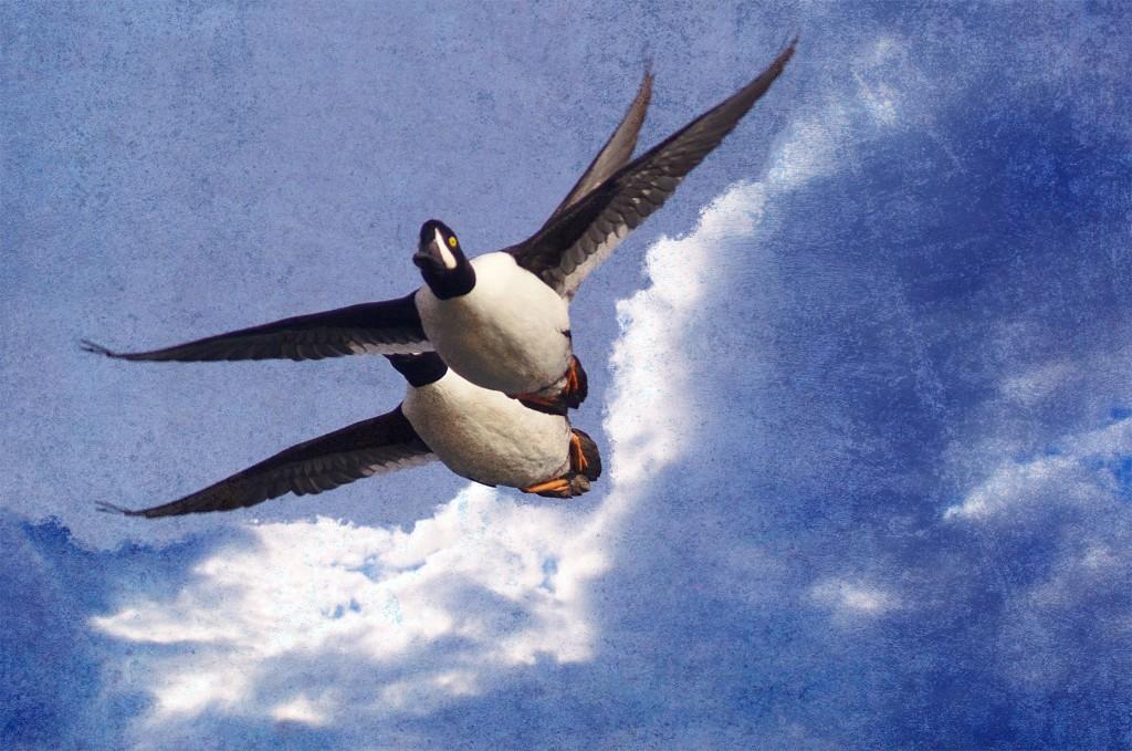 Goldeneye in Flight