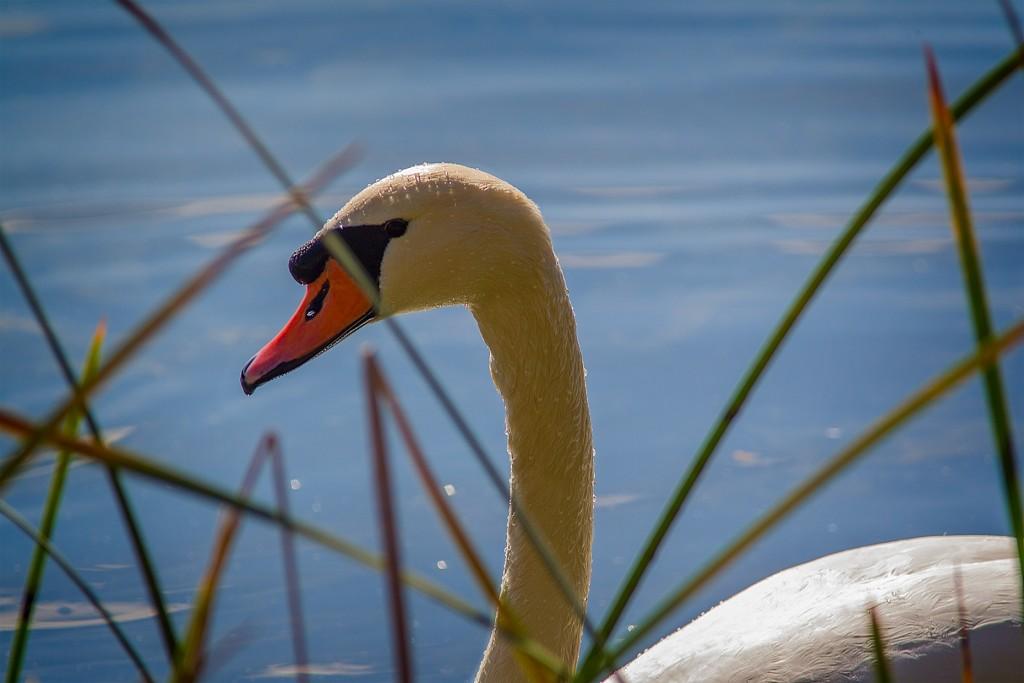 SwanHead2