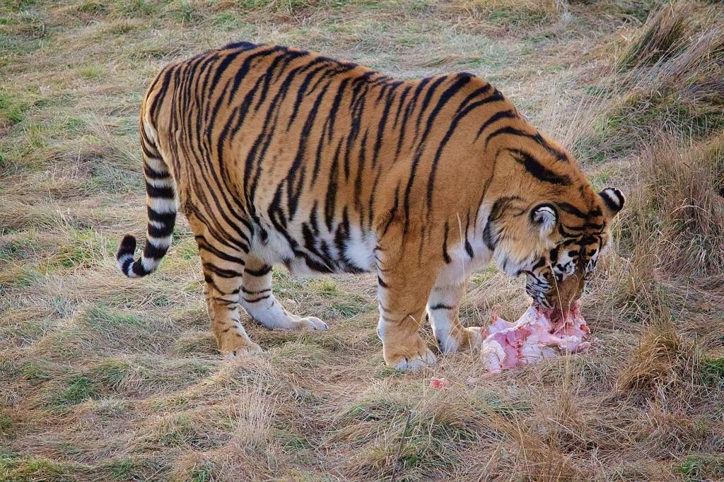 TigerTurkey