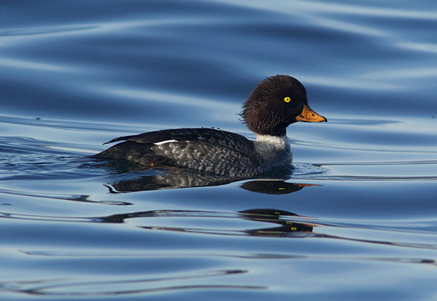 year-old Barrow's Goldeneye