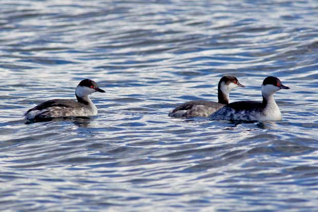 three Horned Grebes