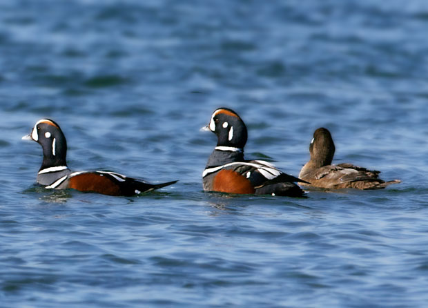 Three Harelquin Ducks