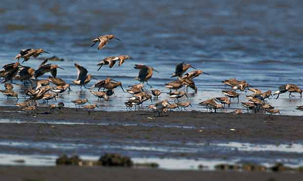 Shorebirds landing