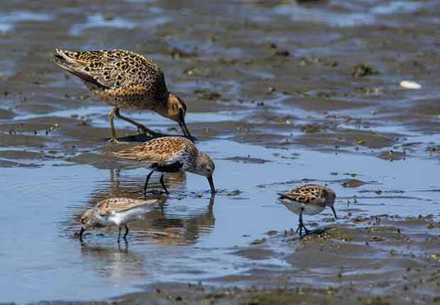 Dowitcher, Dunlin, Western Sandpipers