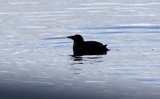 silhouette of Auklet