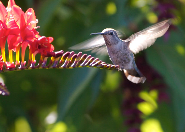 Backlit Hummingbird