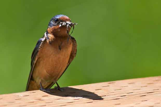 Barn Swallow with Insect