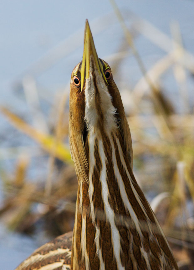 Close Up of American Bittern