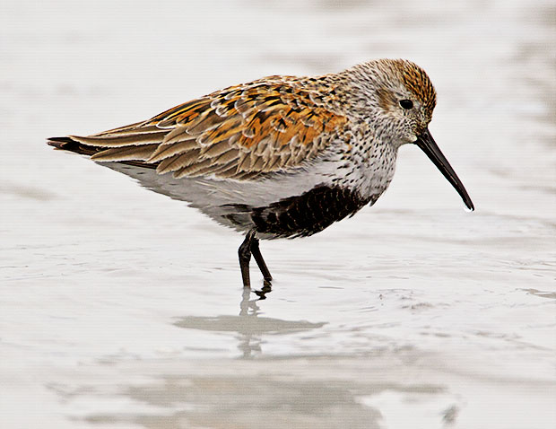Dunlin in breeding colors