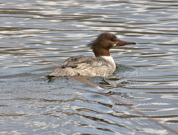 Merganser Beginning to Change Breeding Colors