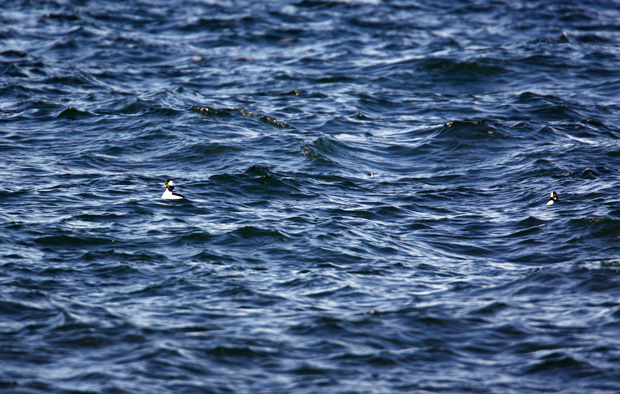 Bufflehead in Straits of Juan de Fuca