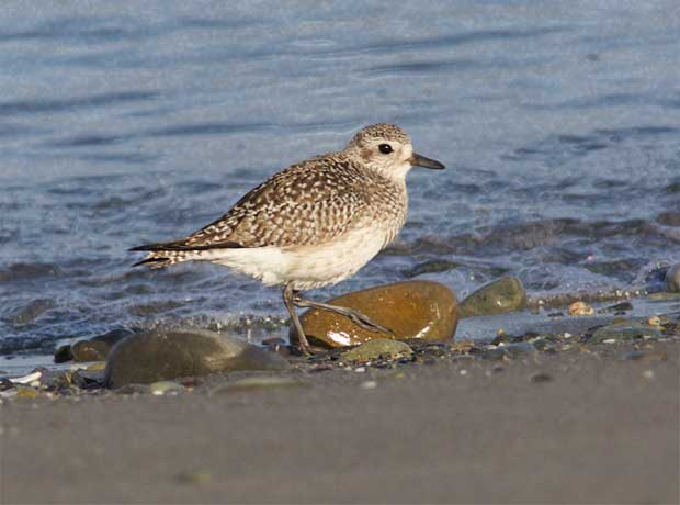non-breeding Black-Bellied Plover