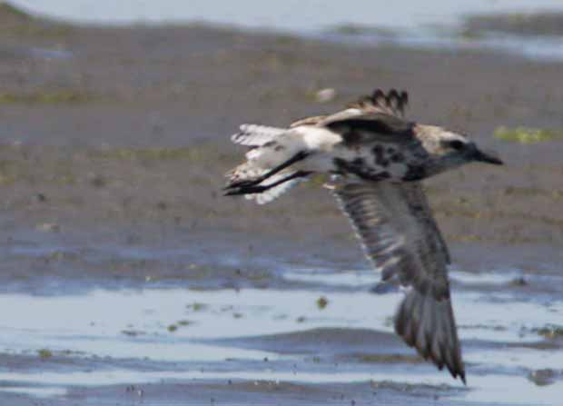 Black-Bellied Plover Flying