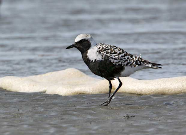 Black-Bellied Plover in Breeding Colors