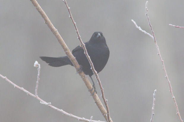 Red-Wing Blackbird in fog