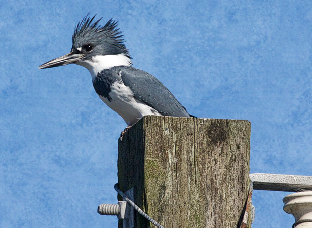 Belted Kingfisher on Pole