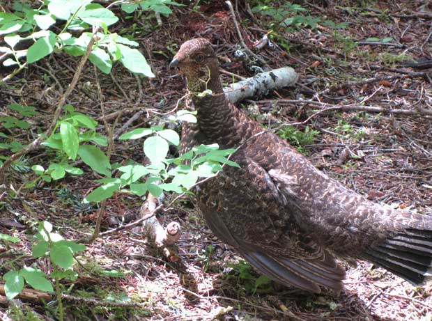 female Blue Grouse