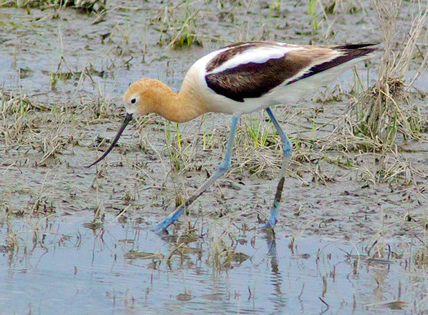 Avocet in breeding colors