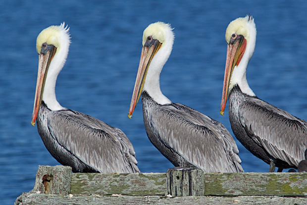 Three Pelicans in Various Breeding Colors