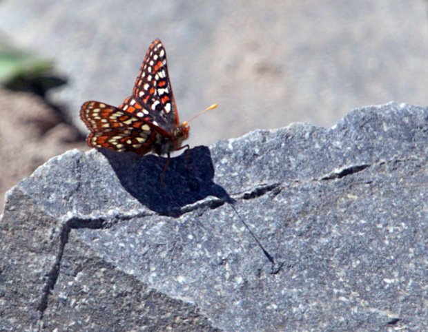 Butterlfly on Rock