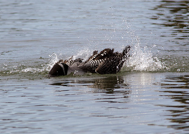 Loon Bathing
