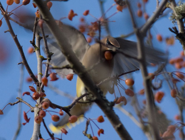 Cedar Waxwing eating fruit