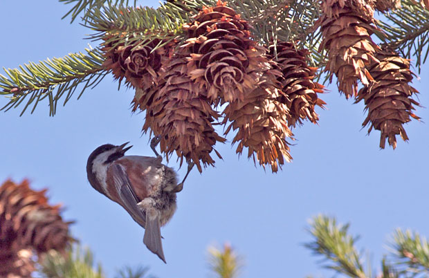 Chicadee On Pine Cone