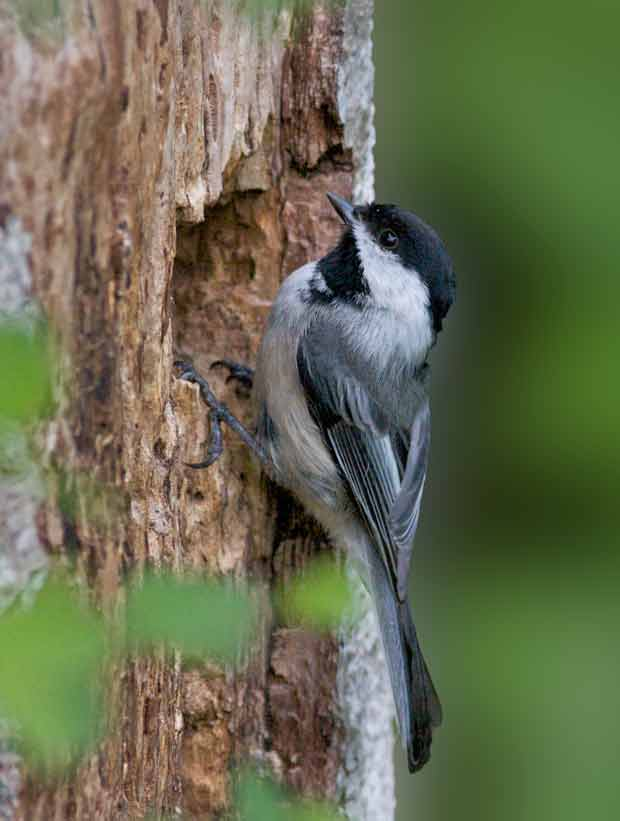 Black-Capped Chickadee entering nest
