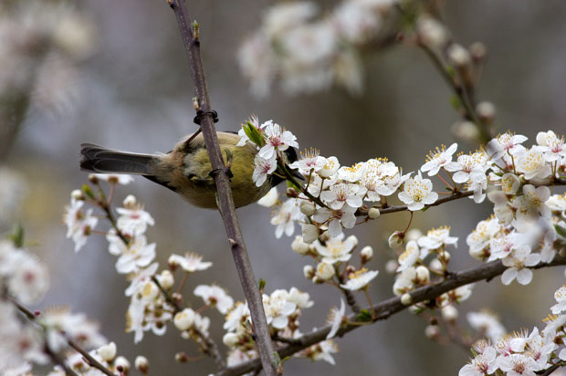Chickadee in cherry blossoms