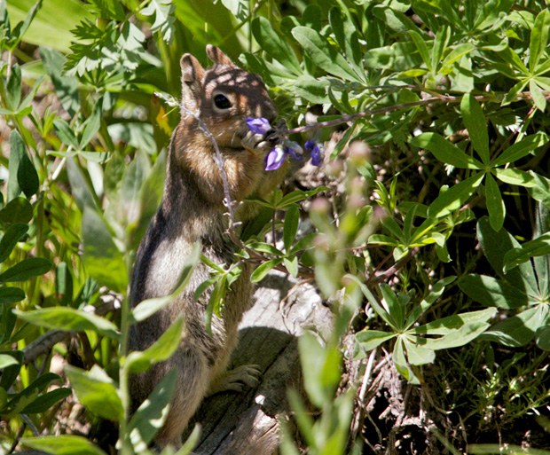 Chipmunk Munching on Flower