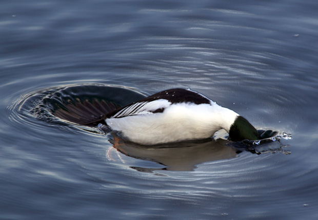 goldeneye Diving