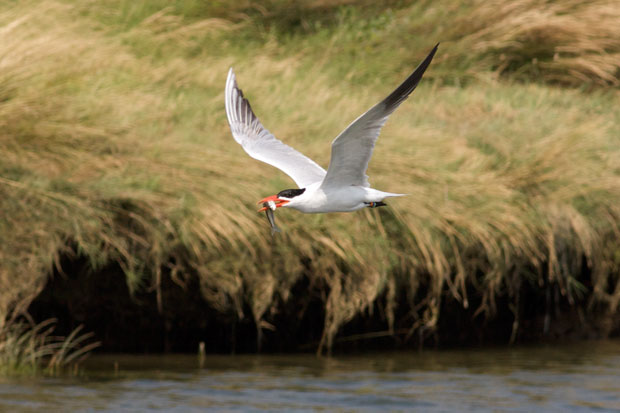 Tern with Fish in Mouth
