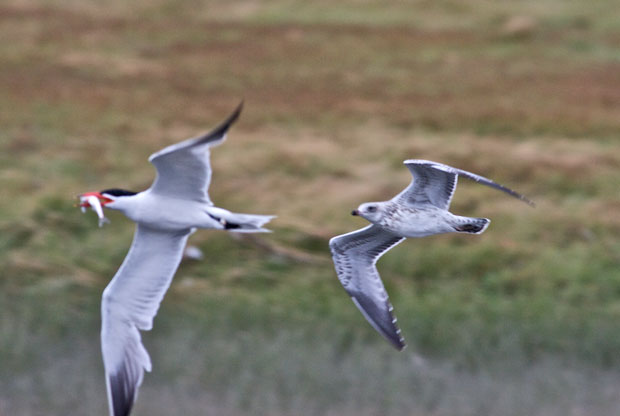 Tern being chased by Gull