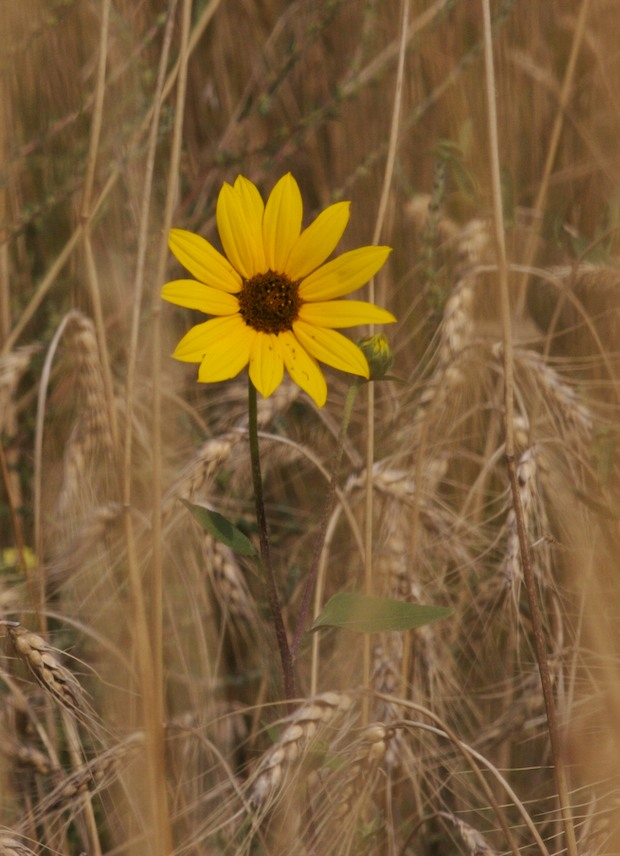 Sunflower In Grass