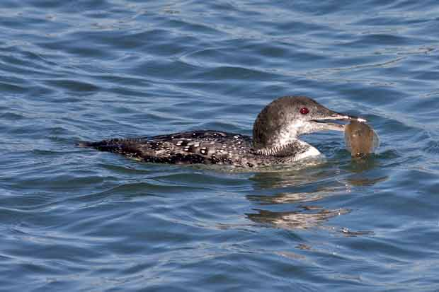 Common Loon With Fish