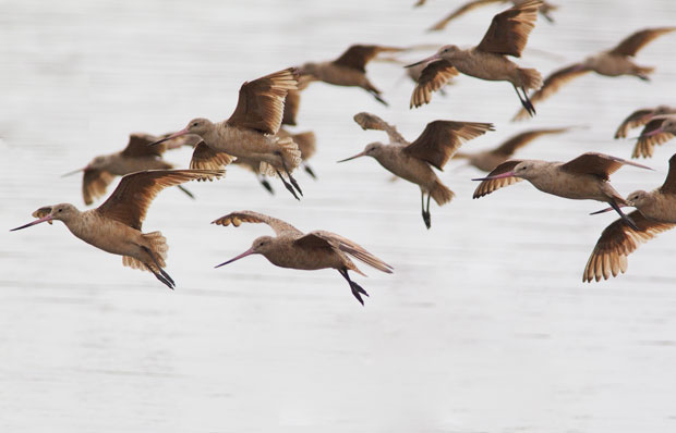 Marbled Godwits in Flight