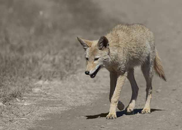 Young Coyote walking on road