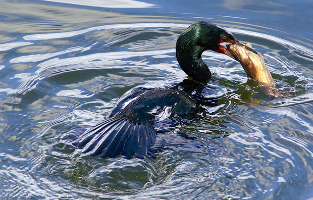 Pelagic Cormorant with Fish