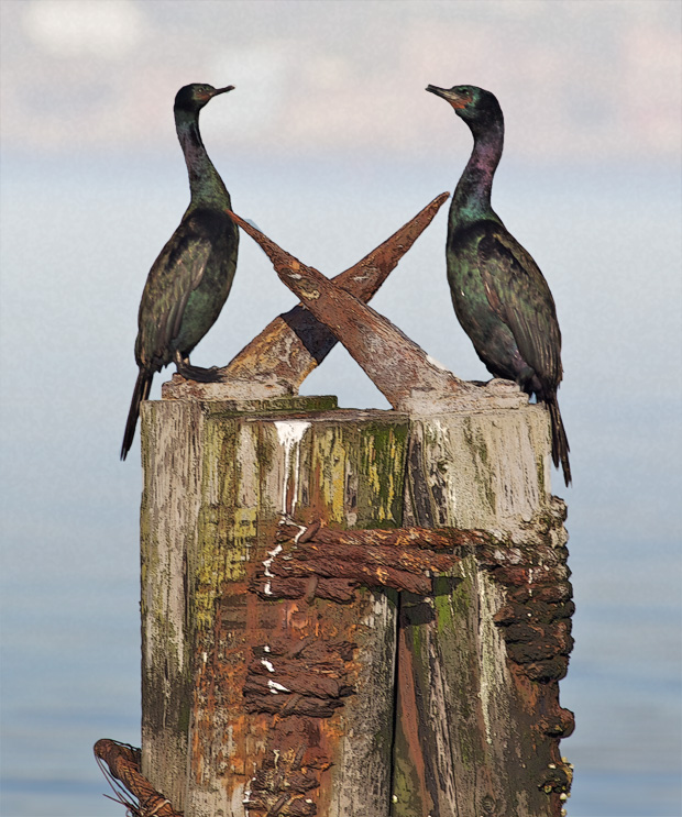 Pelagic Cormorants