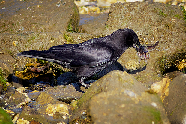 Crow with Sculpin