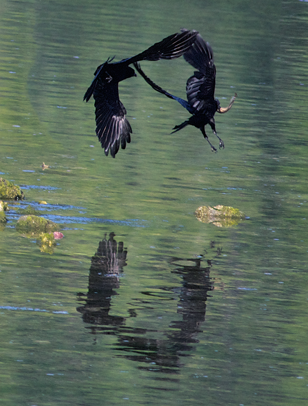 Crows fighting  over a fish