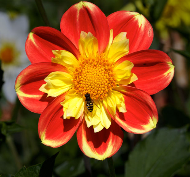 Red and Gold Dahlia with Fly