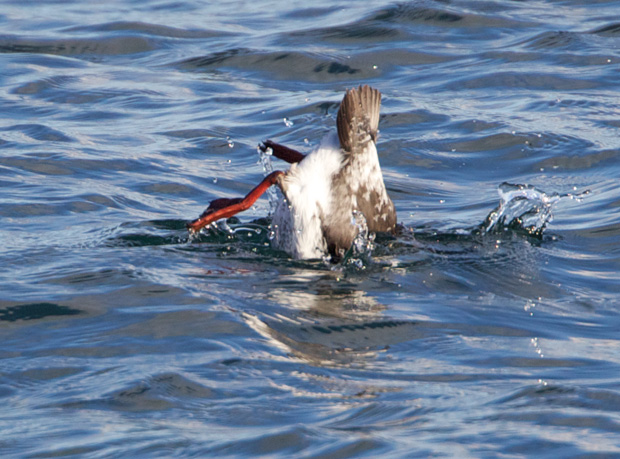 Pigeon Guillemot diving