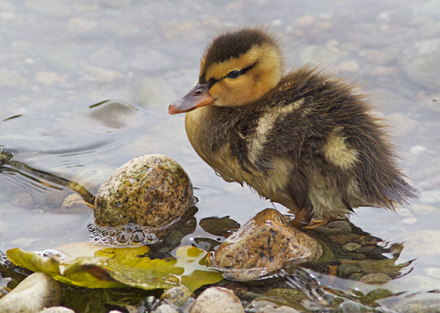 cold duckling