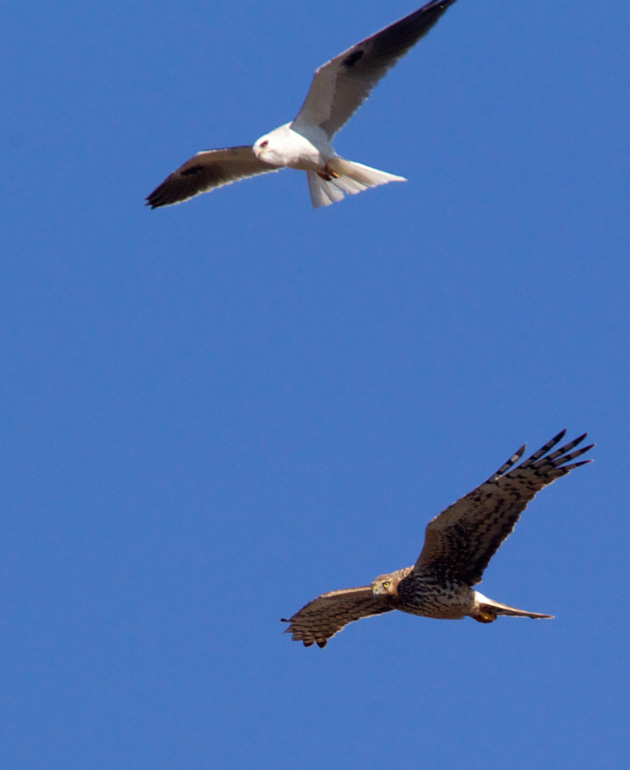 Kite and Harrier