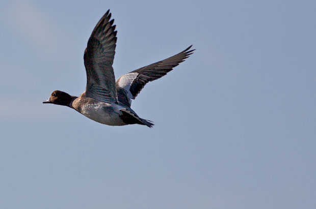 Eurasian Widgeon Flying