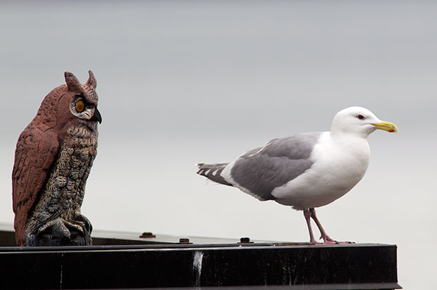 Fake Owl and Gull