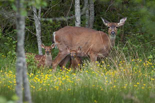 Deer with two fawns