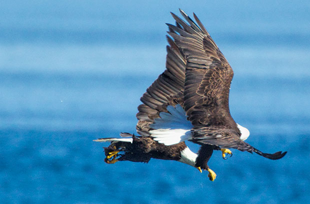 eagles fighting over fish
