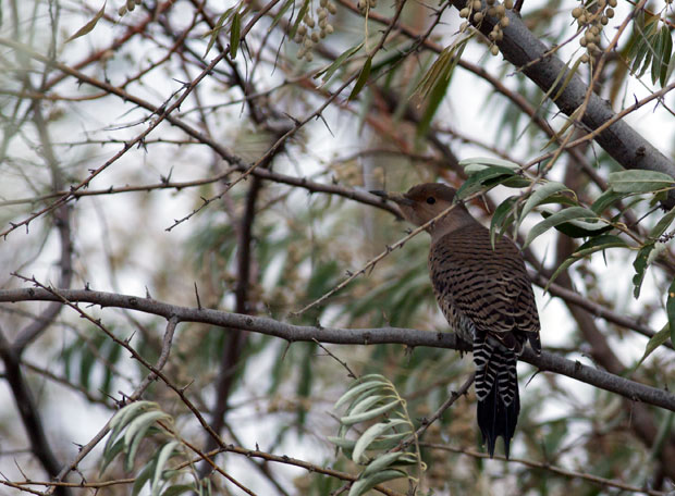 Flicker In Russian Olive Tree